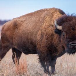 Featured bison a5c984b584