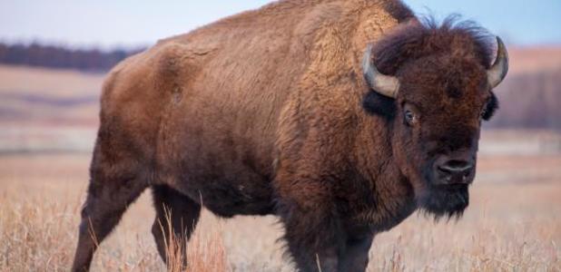 Full bison a5c984b584